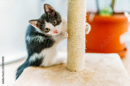 Cute Baby Cat Scratching And Sharpening Claws At Home