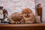 Pomeranian puppy decorative dog animals - 228667838
