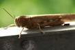 Brown grasshopper close up