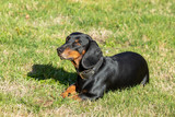 dachshund lying in the grass