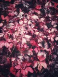 Beautiful fall or autumn red and purple vine leaves