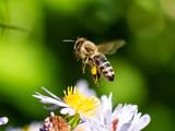 Fliegende Biene die von einer Blume weg fliegt. Seitenansicht