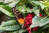 Papillon Heliconius hecale sur une fleur