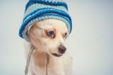 Funny white Spitz isolated on white background. Dog with blue eyes