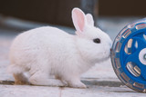 white bunny rabbit push the cart wheel, Little bunny sitting outside, Lovely pet for children and family house