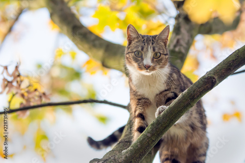 Black, beige and white cat walking on a branch high up a maple tree, looking straight into the camera