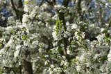 Pflaume, Prunus cocomilia - 228745214