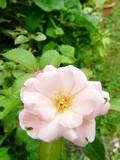 pale pink rose rosaceae 1 - 228774893