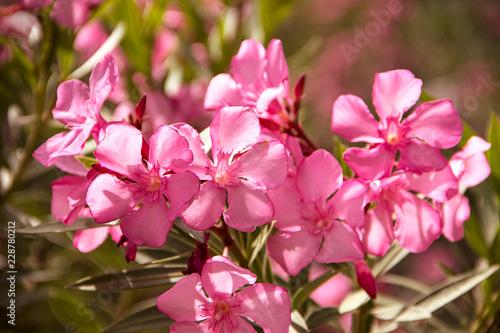 Wall mural Pink oleander