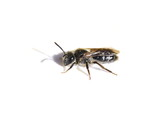 A small solitary bee of the genus Andrena isolated on white background - 228798261