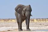 Elefantenbulle (loxodonta africana) am Wasserloch Gemsbokvlakte im Etosha Nationalpark in Namibia - 228803458