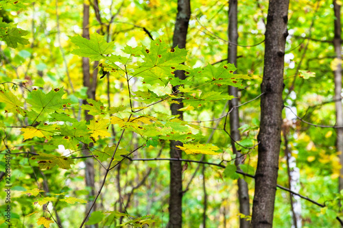 green and yellow maple leaves on twig in forest