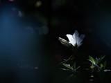 暗がりに咲く美しい白いツツジの花