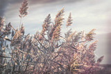 Dry reed, dry cane in meadow - cloudy autumn day, beautiful nature in autumn day - 228843442