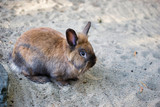 Full body of grey-brown domestic pygmy rabbit