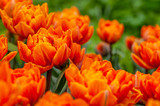 Bright orange tulips on a spring meadow after a rain