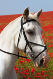 Grey horse portrait against red poppies