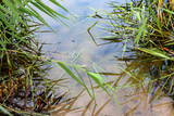 Bulrush, or cattail (Typha) on the shore of the pond - 228883643