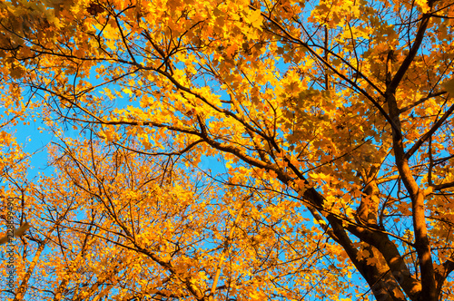 Fall trees background -maple tree branch with orange foliage lit by sunshine, sunny fall landscape in bright sunlight