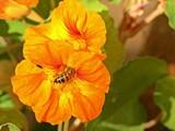 Honigbiene an oranger Blüte einer Kapuzinerkresse  - 228910279