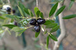 Leinwanddruck Bild - Olives hanging fresh from a tree branch