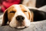 Beagle dog tired sleeps on a couch - 228915827