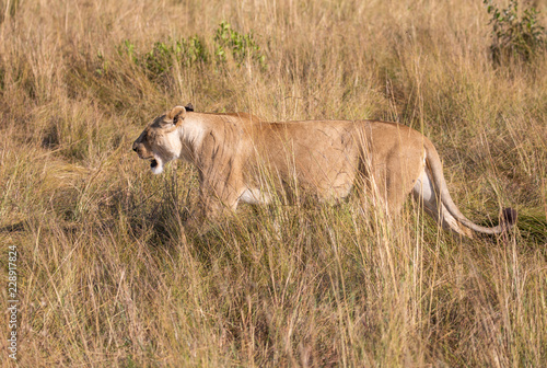 Quadro female lion leo panthera hunting in the tall grass of the
