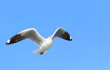 Seagull flying in the blue sky. - 228939416