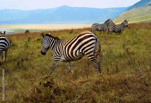 Zebras Grazing in Ngorongoro Crater, Tanzania