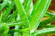 Leinwandbild Motiv Fresh aloe vera in the garden,Skincare concepts.