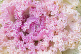 pink cabbage, ornamental plant, large curly leaves, delicate background - 228949253