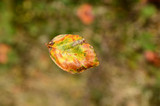 Beech leaf caught in midair as it falls from the tree. - 228953401