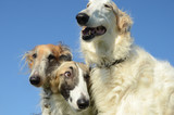 Three borzoi faces, one with a quite worried look. - 228953679