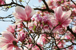 Magnolia flowers. Spring season wallpaper background