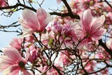 Magnolia flowers. Spring season wallpaper background - 228963077