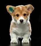 Welsh corgi puppy Dog  Isolated  on Black Background in studio