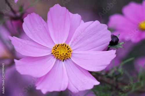 Pink Cosmos Flowers in Botanical Garden, Oslo