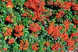 Pyracantha Hedge with Berries - 229001003