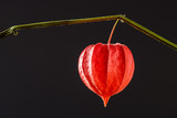 Lantern flower (Physalis alkekengi) on color background. Detail of Chinese Lantern Flower. - 229039048