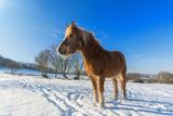 Pferd Haflinger im Schnee stehend