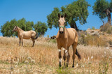 Horses grazing on a meadow in olive tree orchard. Andalucia ,Andalusia, Spain. - 229049042
