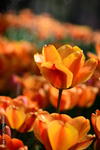tulip, flower, spring, nature, white, yellow, green, narcissus, plant, daffodil, garden, blossom, flowers, tulips, bloom, beauty, floral, field, flora, beautiful, daffodils, color, petal, leaf, season