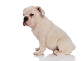 side view of adorable english bulldog sitting
