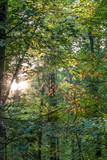 Sonnenstrahlen im Wald - 229063232
