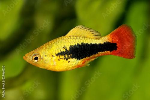 Sunburst Tuxedo Platy Male Xiphophorus Variatus Tropical Aquarium