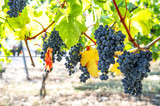 Red grapes green yellow leaves Autumn landscape vibrant colors
