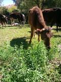 vaca pastura - 229093283