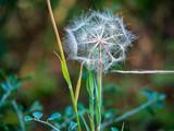 Dandelion Dreamcatcher
