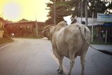 Portrait of big cow stands on the rural road with ignorance of traffic - 229098235