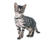 bengal kitten in studio - 229134898